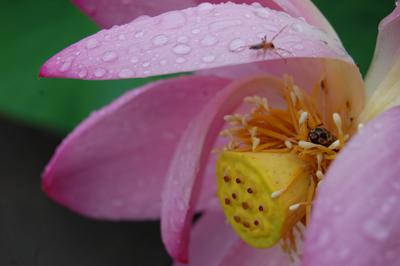 コガネムシが花の中で雨宿り