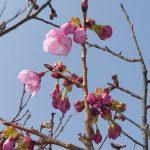 桜だより④